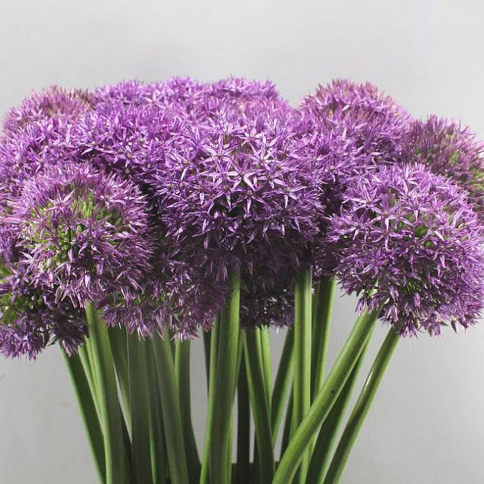 ALLIUM DUTCHMAN