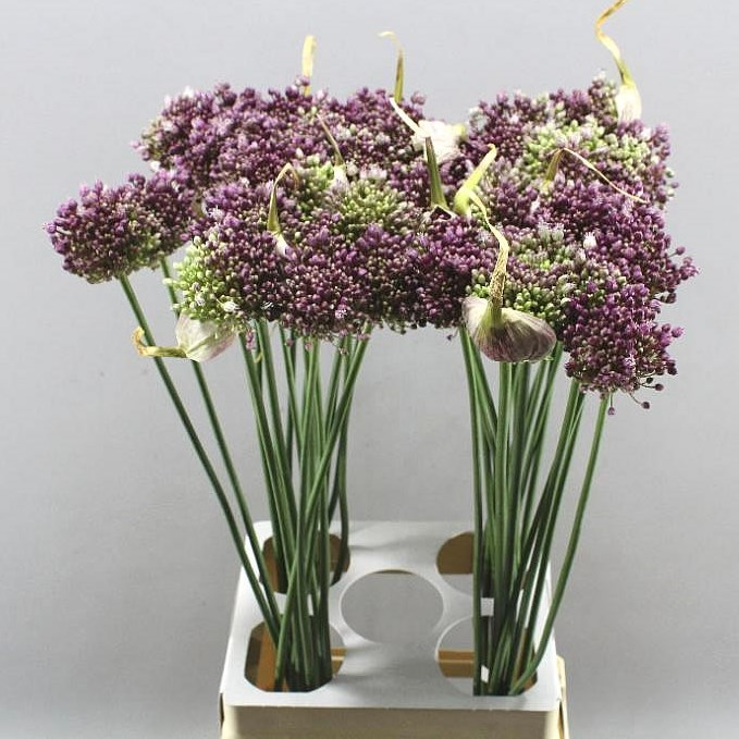 ALLIUM PURPLE MYSTERY