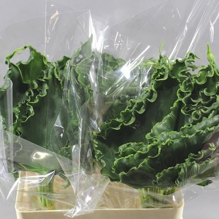 ALOCASIA LEAVES CURLY