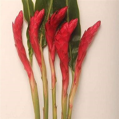 ALPINIA PURPURATA RED (GINGERS)