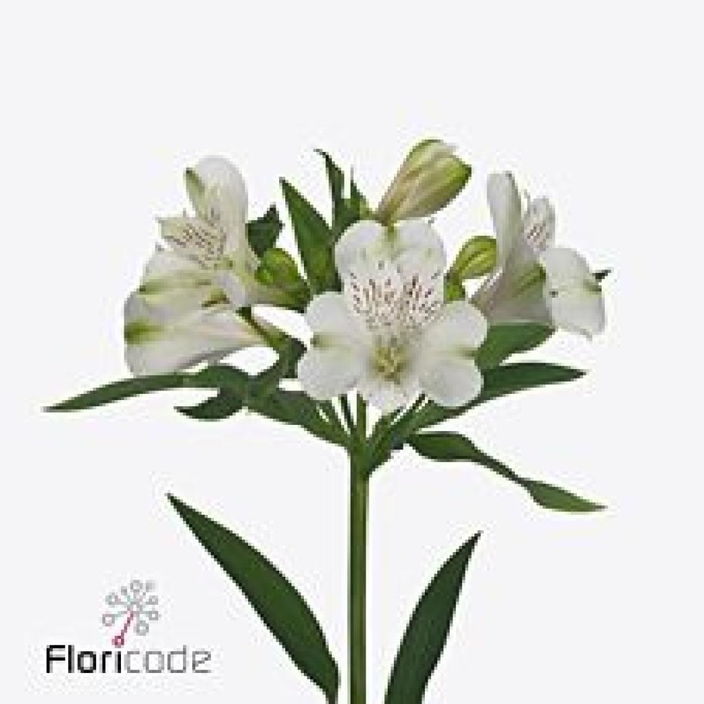 Buy Alstroemeria Wholesale Flowers online Wedding Flowers