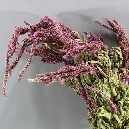 AMARANTHUS CAUDATUS RED (DRIED)