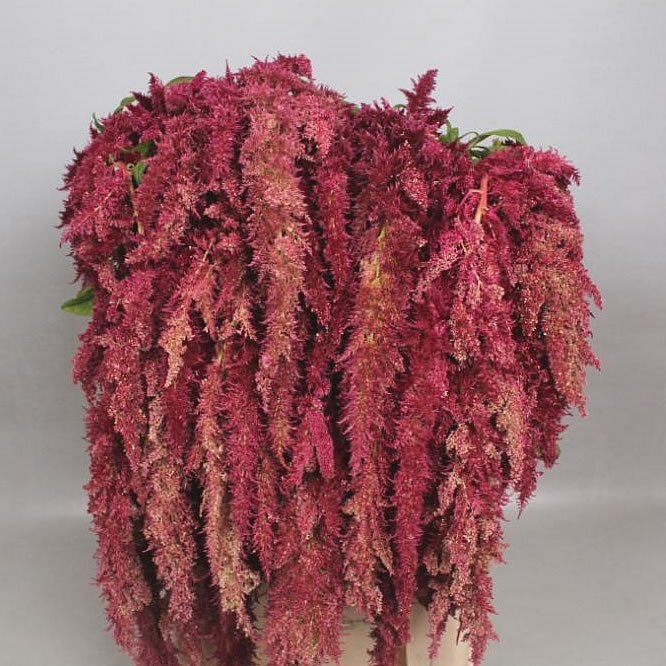 AMARANTHUS MAGIC SPIDER