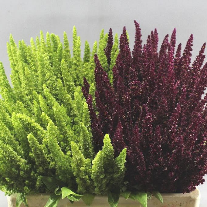 AMARANTHUS UPRIGHT MIX (RED & GREEN)