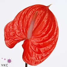 ANTHURIUM AVO SUMMER x 12