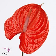 ANTHURIUM AVO SUMMER x 16