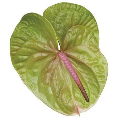ANTHURIUM A VERINO x 10