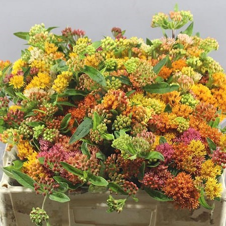 ASCLEPIAS HERON KING MIX