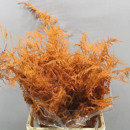 ASPARAGUS FERN DYED ORANGE