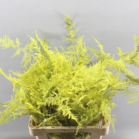 ASPARAGUS FERN DYED YELLOW