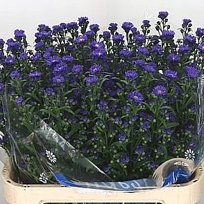 ASTER CHANEL PURPLE