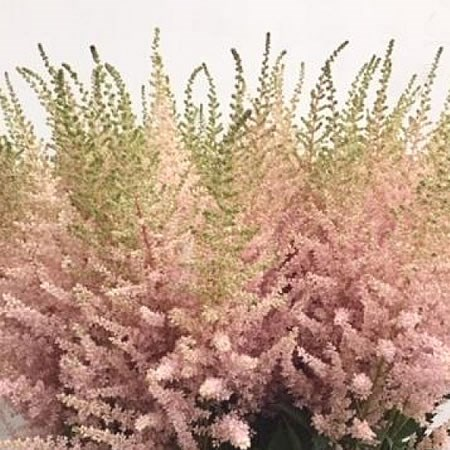 ASTILBE AVALANCHE
