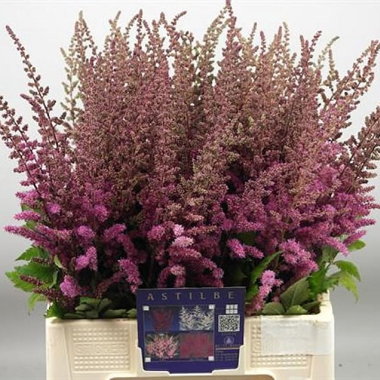ASTILBE MAGGIE DALEY