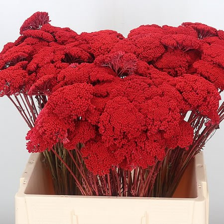 Achillea Dyed Red (Dried)