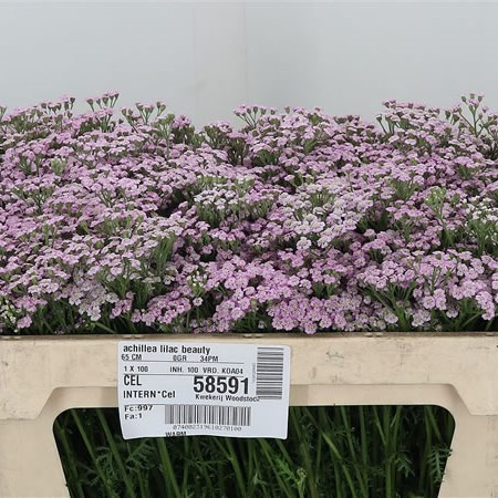 Achillea Lilac Beauty
