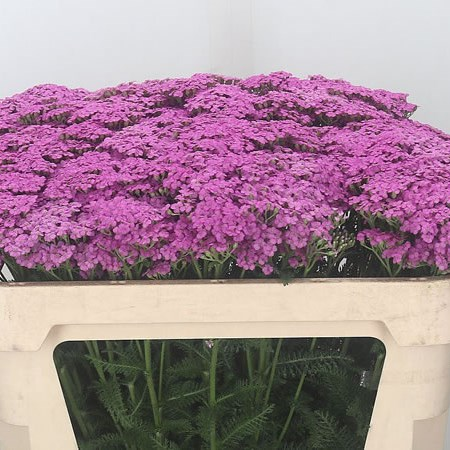 Achillea Lilac Dream