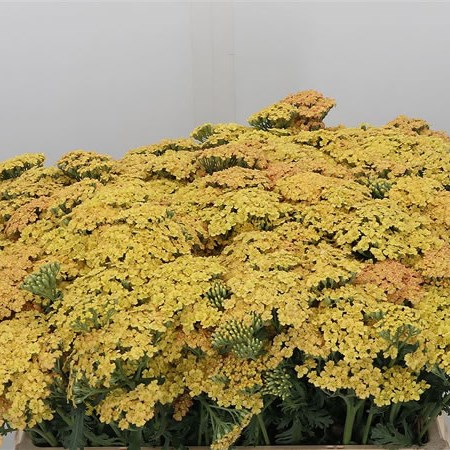 Achillea Surpreme Golden Sunset