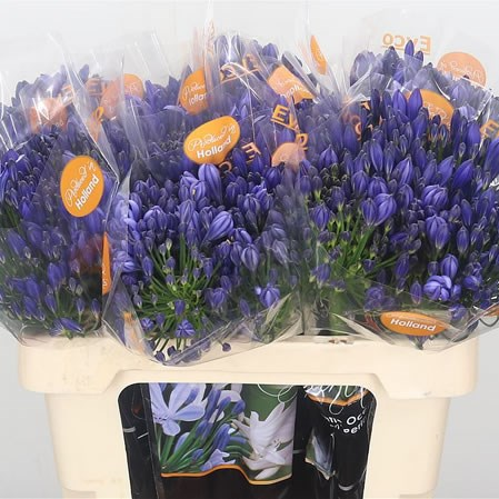 Agapanthus Atlantic Ocean Blue