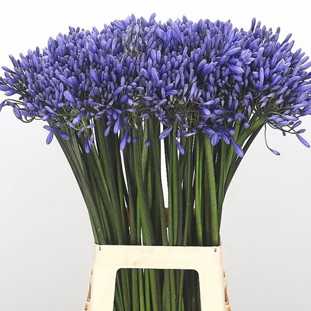 Agapanthus Dr Brouwer