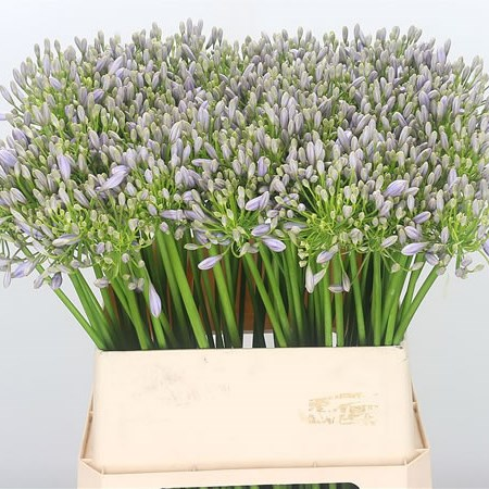 Agapanthus Lilac Flash