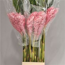 Alpinia Purpurata Pink (Gingers)