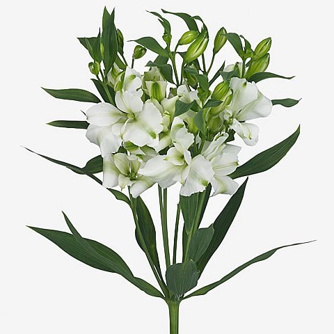 Alstroemeria Charmelia White (Spray)