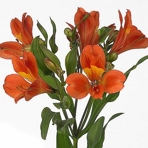 Alstroemeria Dancing Queen