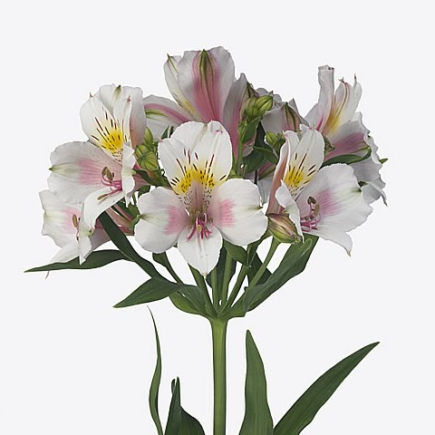 Alstroemeria Houston