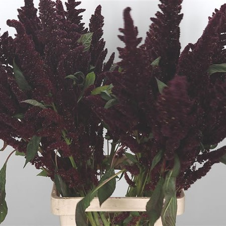 Amaranthus Biological