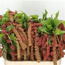 Amaranthus Coral Fountain