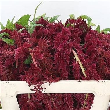 Amaranthus Red Spider