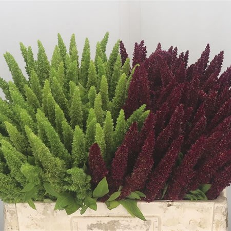 Amaranthus Upright Mix (Green & Red)