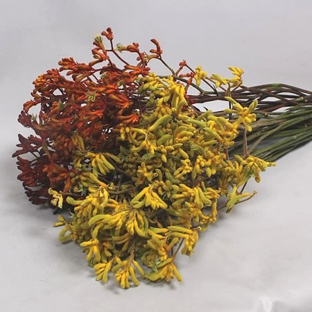 Anigozanthos Mix (Cols may vary to image)