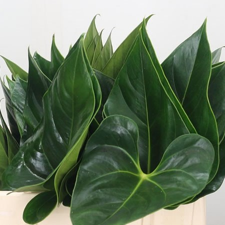 Anthurium Leaves Lovely