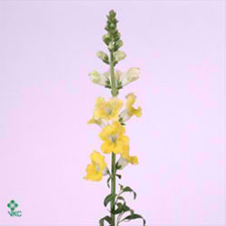 Snapdragon Apollo Yellow