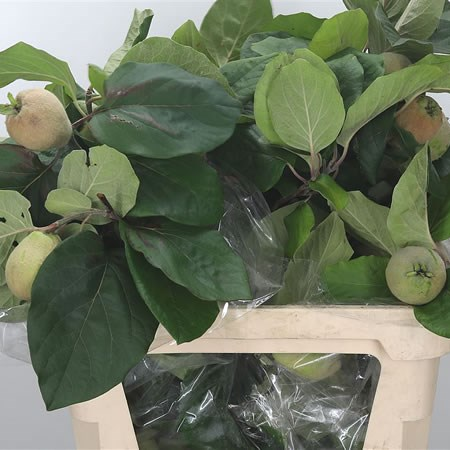 Apple Malus Green Giant