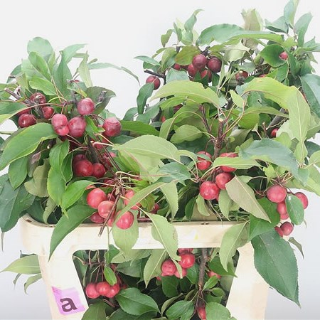 Apple Malus Magical Red Spirit