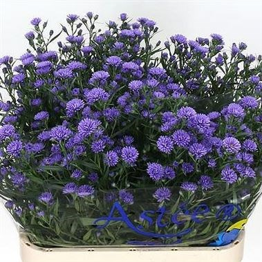 Aster Astee Dark Lilac