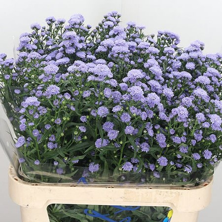 Aster Astee Lilac