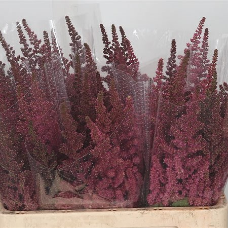 Astilbe Visions in Red