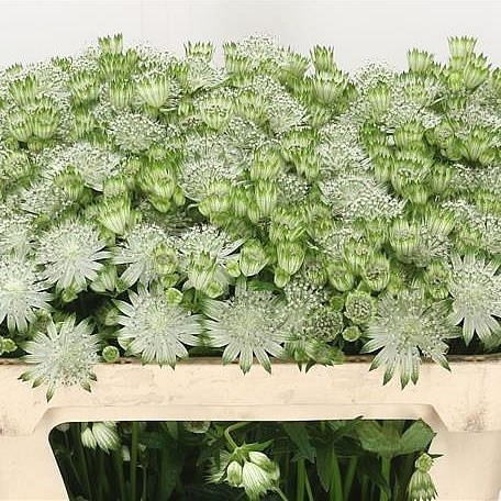 Astrantia Shaggy