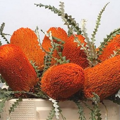 BANKSIA SPECIOSA DYED ORANGE
