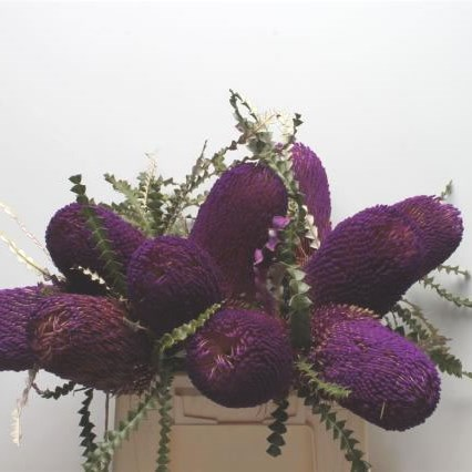 BANKSIA SPECIOSA DYED PURPLE