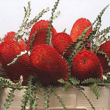 BANKSIA SPECIOSA DYED RED