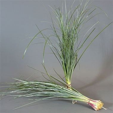 BEARGRASS EXTRA LONG