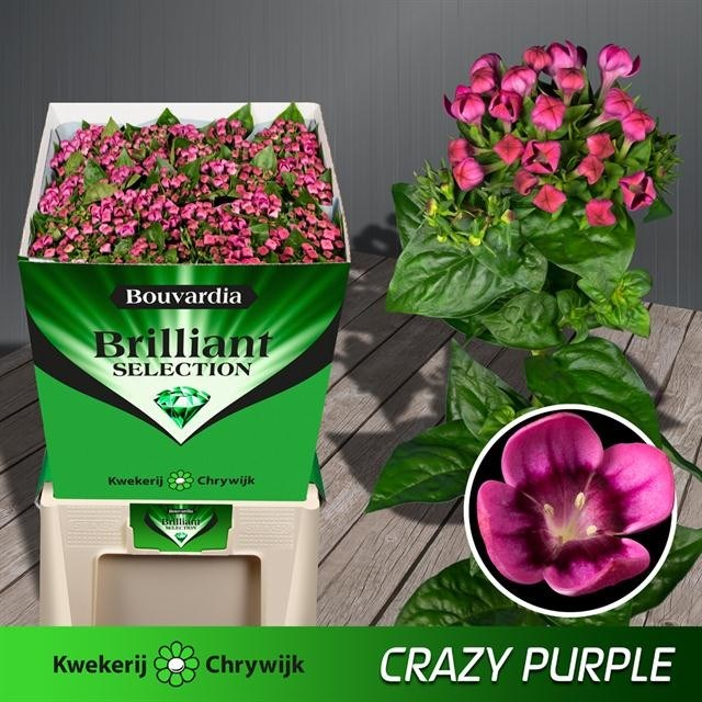 BOUVARDIA SGL. ROYAL PURPLE