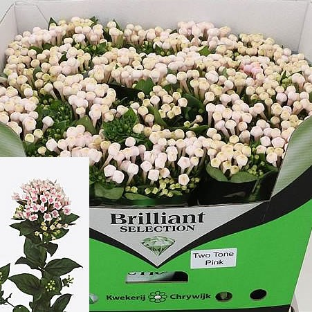BOUVARDIA ROYAL TWO TONE PINK
