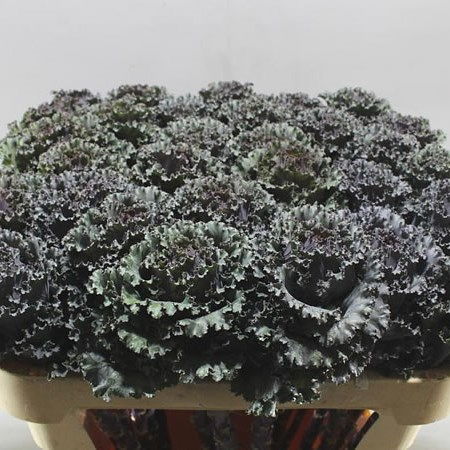 BRASSICA BLACK ANGEL