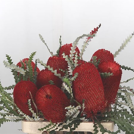 Banksia Speciosa (Dyed Red)