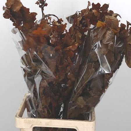 Birch Preserved Brown